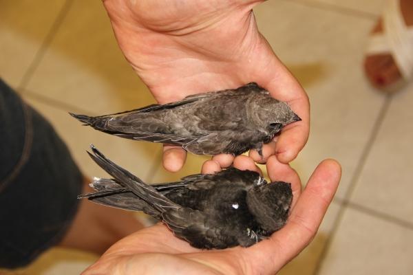 Rondone pallido (in alto) e Rondone comune (in basso): nella foto si può osservare la differenza cromatica nel piumaggio delle due specie.